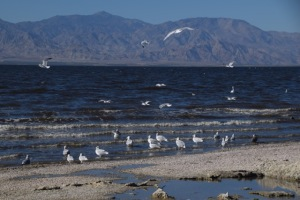 birds at Salton Sea