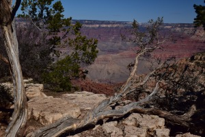 Another tree and canyon sight!
