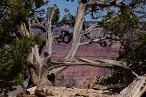 A beautiful tree & canyon.