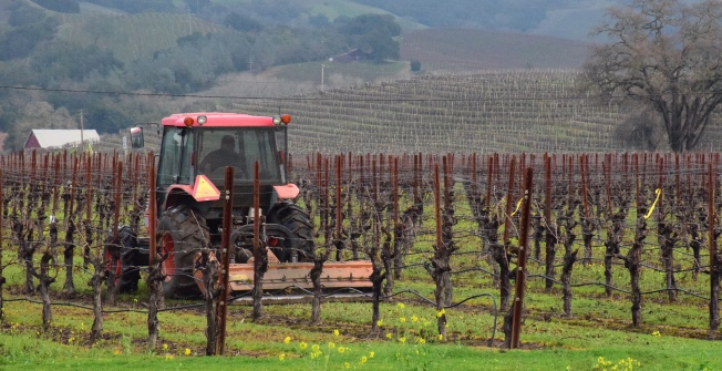 Worker at vineyard cutting grass between rows of grapevines