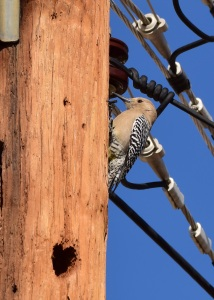 Gila woodpecker and did it chisel the heart into the wooden telephone pole?