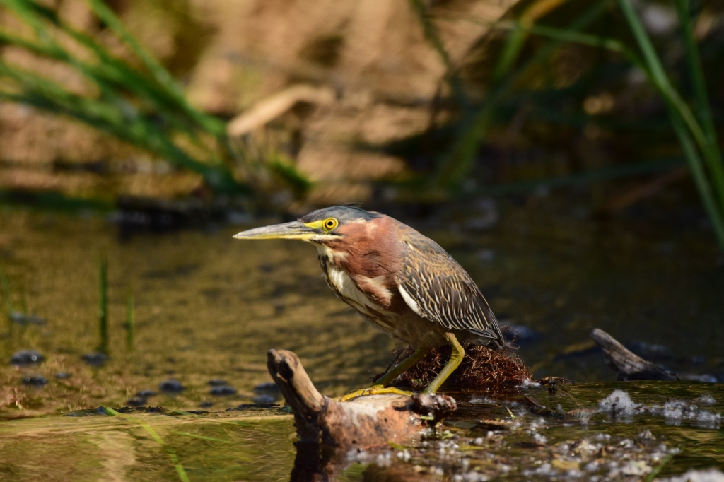 Green heron looking around.