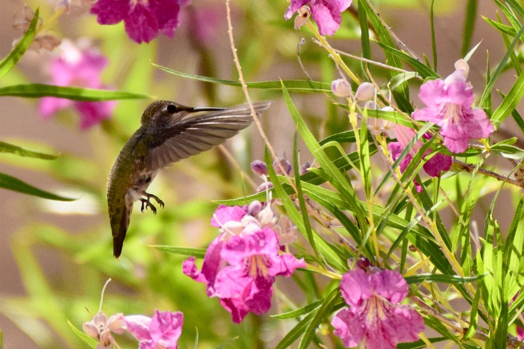 Hummingbird landing at a desert willow's flower to get nectar.